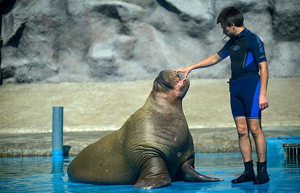 В России всего 2 зоопарка, содержащих моржей, и один из них - Ижевский зоопарк.